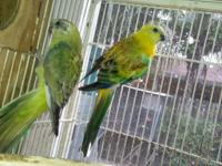 Adult breeder opaline redrump pair Other birds