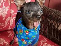 Opie's story Opie is estimated 8 years old and tiny at