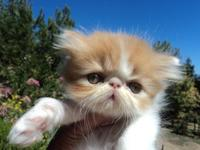 Beautiful Persian kittens orange and white male and
