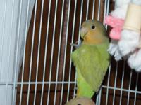 Description This is a beautiful lovebird! She is a sex