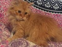 I have a orange male doll face persian. He's 10 weeks