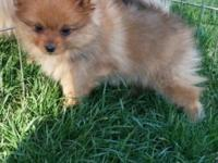 Orange male Pomeranian pup. Vet checked, dewclaws