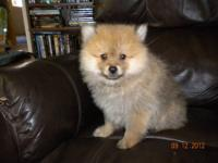 CKC Registered. Andy is an orange sable male. He is 11
