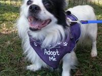 Hi my name is Oreo- I am a 6 yr old Papillion - they