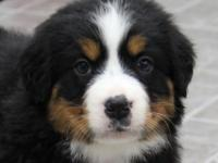 Meet Oreo, a sharp Bernese Mountain Dog puppy with a