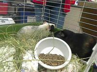 My name is Oreo and I'm a Guinea Pig! Come visit me at