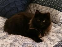 Oreo is a SWEET gorgeous Maine Coon mix young male.