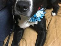 Hi Im Oreo. I am a small Staffordshire terrier and