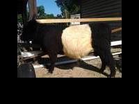 I have a Dutch Belted Galloway- Oreo for sale. He is