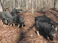 We have certified organic Berkshire Pork for sale