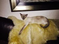 Oriental Lilac point Siamese cat bright blue eyes Adopt