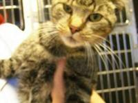 Oriental Tabby - Skittles - Small - Adult - Female -