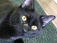 Orion's story Orion, 1yr, Male, Domestic Short Hair,