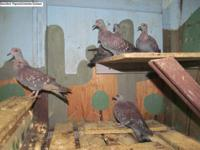 One pair Brown Eared Pheasant ( unrelated adult )$490.