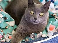 My story DSH Russian Blue Mix Spayed FemaleOroro is a