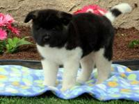 Oscar Akita Puppy For Sale, Text For more details on