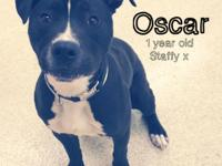 Meet OSCAR! He is a 1 year old Staffy mix who was