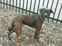 pet id 38296631  Oscar is a 10-12 month old boxer mix