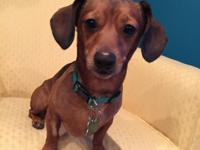 Oscar is a two and a half year old Dachshund mix. His