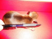 Tiny little Micro Mini Dachshund readily available to