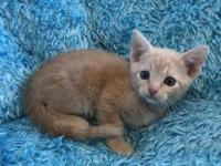 My story Oscar is a male, buff colored Domestic Short
