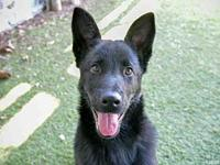 OSO's story Oso is 3-month-old German Shepard mix and