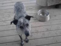 Ossie is a 9 year old, purebred Blue Heeler. She is