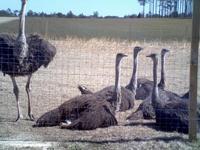 Description Ostrich chicks for sale. Full service