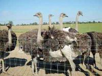Ostriches for sale, chicks, yearlings, proven breeder.