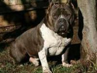 Im selling an OT Bullies Revange daughter $1500 shes