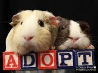 We ALWAYS have guinea pigs available for adoption, of