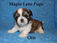 Otis is the cutest little boy! He is AKC Champion Lined