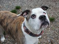 Hi there, I'm Otis. I am a 9 year old American Bulldog