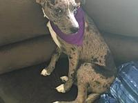 Otis's story Otis is an about 1  year old Catahoula