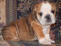 Otis is a sable fawn English Bulldog puppy with