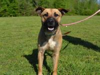 Otis is a good-looking 1 1/2 year old Shepherd mix,