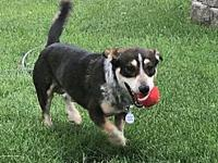 Otto's story Meet Otto! He is a Heeler/Corgi mix who