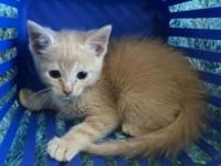 My story Otto is a male, buff, Domestic Short Hair
