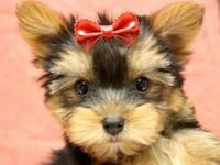 Cute male and female Teacup Yorkie.12weeks old, $500.