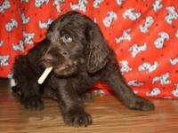 Outlaw is a 7 week old brown labradoodle. Raised in the