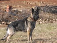 We have an Outstanding litter of AKC German Shepherd