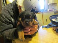 I have 4 outstanding rottweiler puppies mother imported