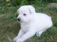 GORGEOUS SNOW WHITE MALE PICK OF LITTER PUP, NOW TAKING
