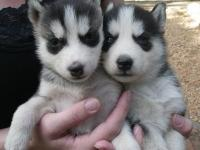 Two Cute Siberian husky puppies for Free Adoption