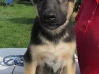 Outstanding quality German Shepherd puppies for sale!
