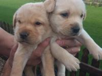 Labrador Retriever Puppies For Sale.These puppies will