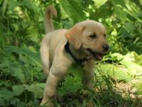 Outstanding Labrador Retriever Puppies Male And
