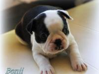 Outstanding Male and Female Boston Terrier puppies  for