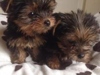 Outstanding Male And Female Yorkie Puppies. They are up