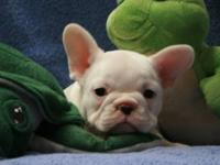 We have 3 very nice quality french bulldog puppies.I